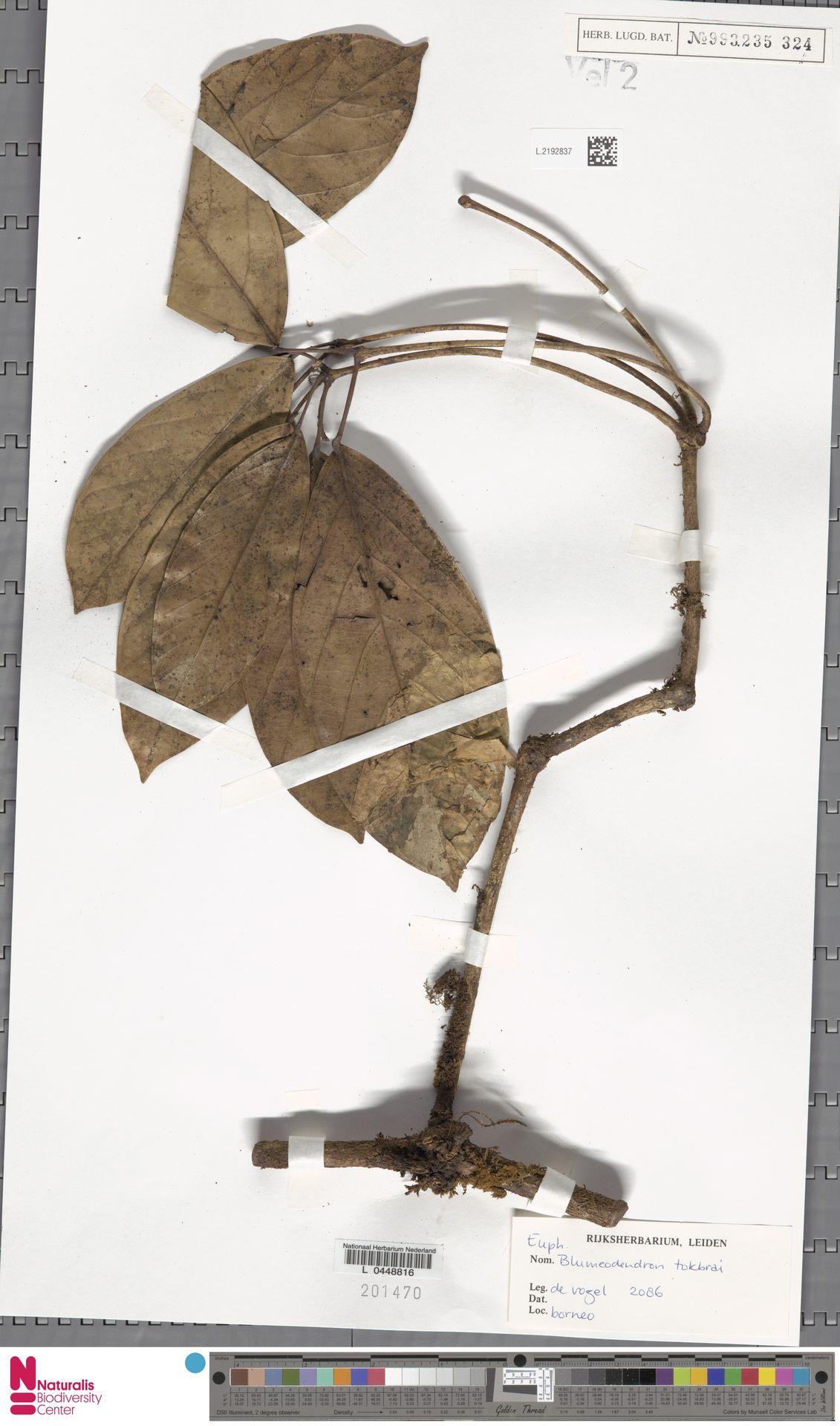 L.2192837 | Blumeodendron kurzii (Hook.f.) J.J.Sm.