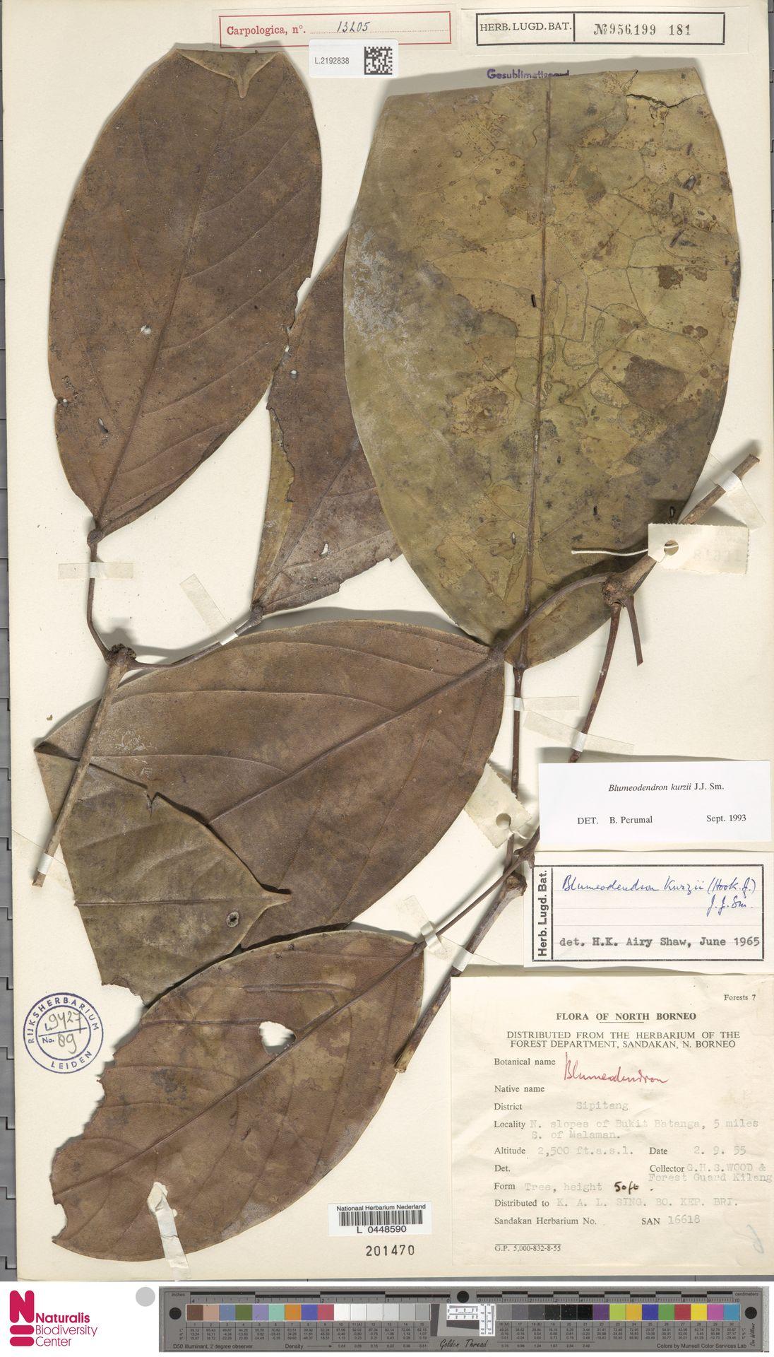 L.2192838 | Blumeodendron kurzii (Hook.f.) J.J.Sm.