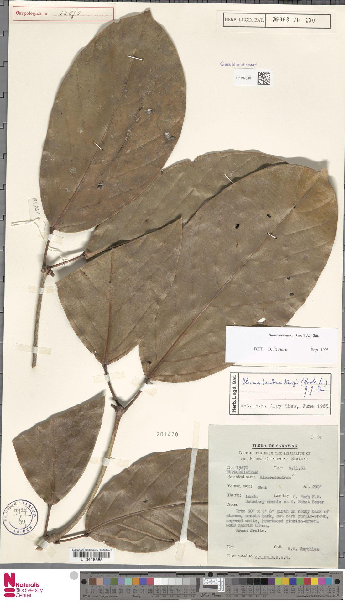 L.2192840 | Blumeodendron kurzii (Hook.f.) J.J.Sm.