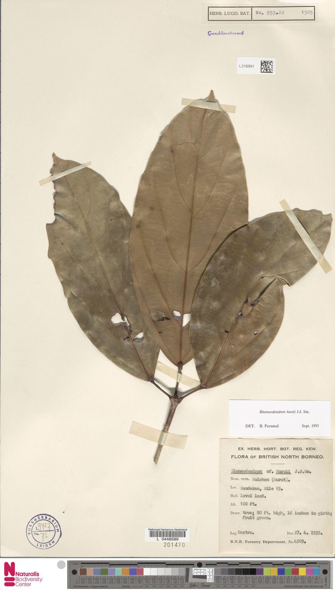 L.2192841 | Blumeodendron kurzii (Hook.f.) J.J.Sm.