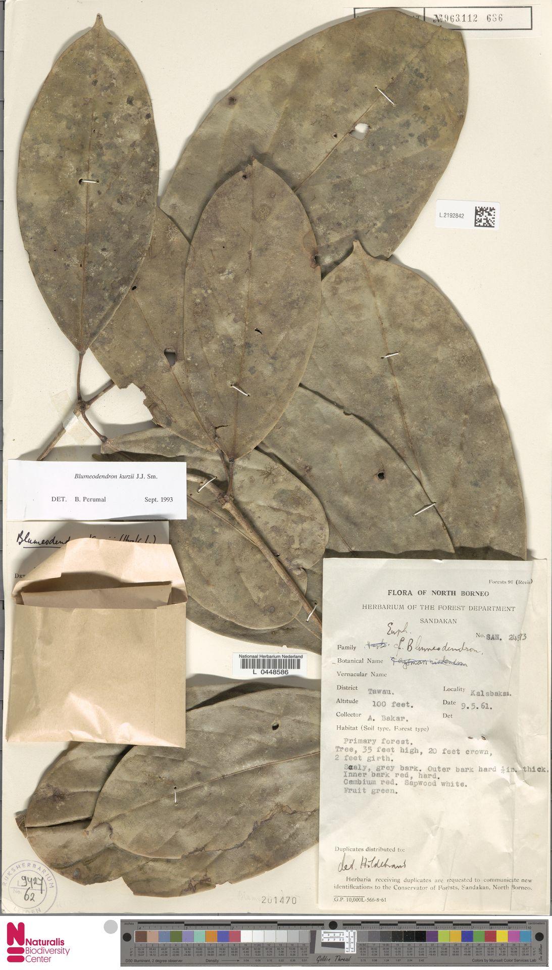 L.2192842 | Blumeodendron kurzii (Hook.f.) J.J.Sm.