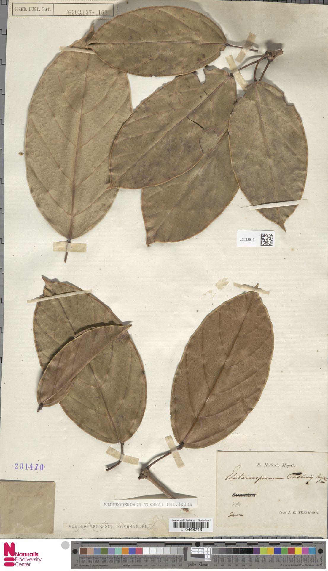 L.2192946 | Blumeodendron kurzii (Hook.f.) J.J.Sm.