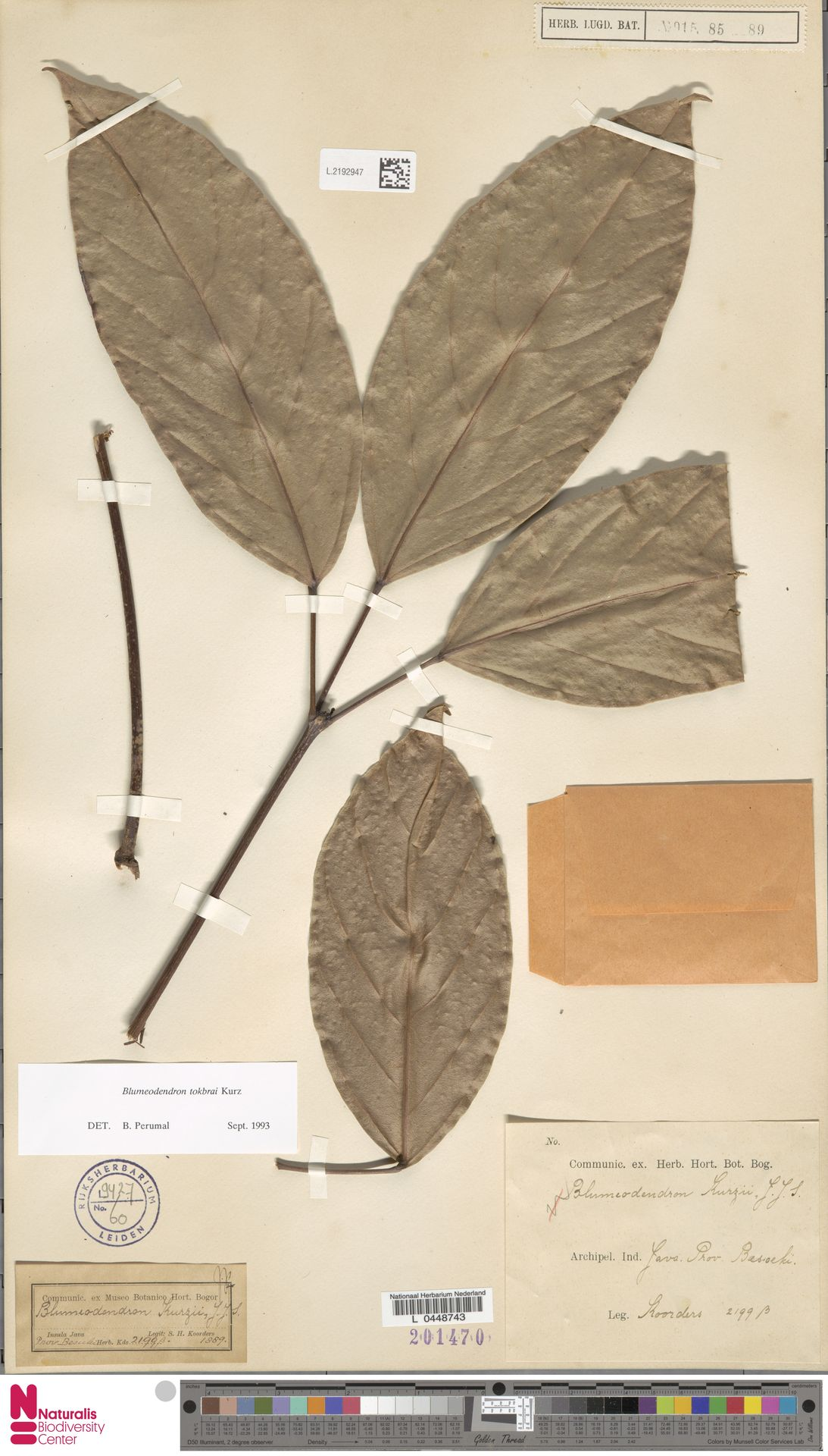 L.2192947 | Blumeodendron kurzii (Hook.f.) J.J.Sm.