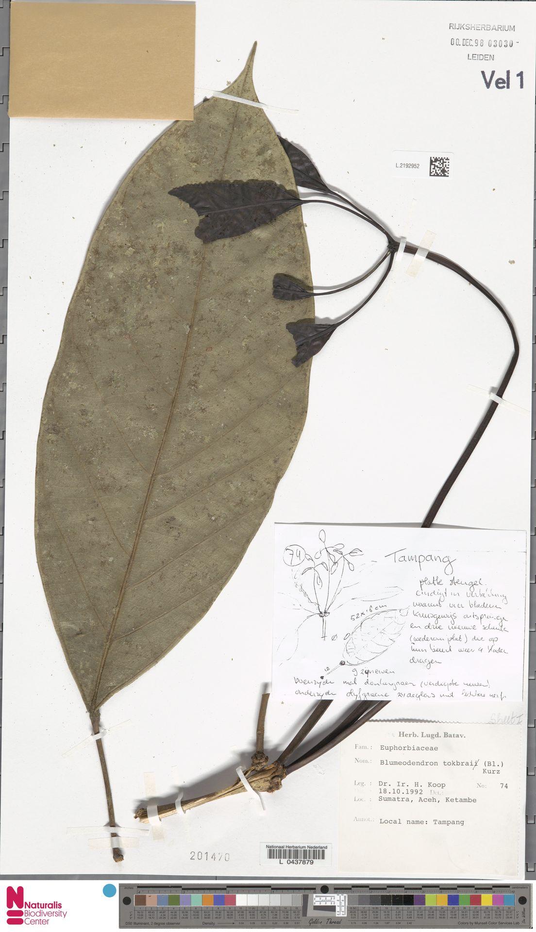 L.2192952 | Blumeodendron kurzii (Hook.f.) J.J.Sm.