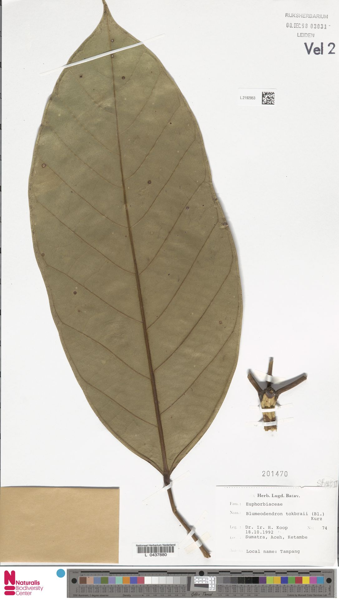 L.2192953 | Blumeodendron kurzii (Hook.f.) J.J.Sm.