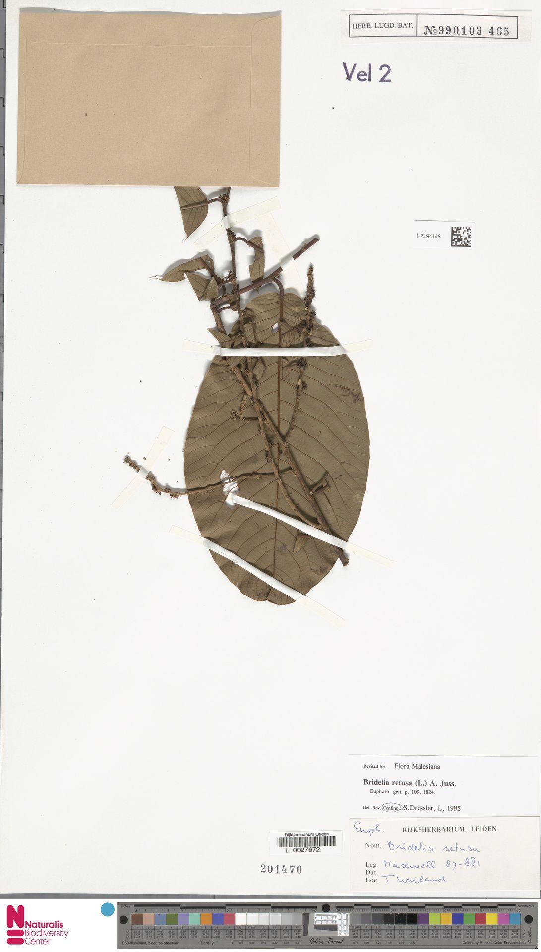 L.2194148 | Bridelia retusa (L.) A.Juss.