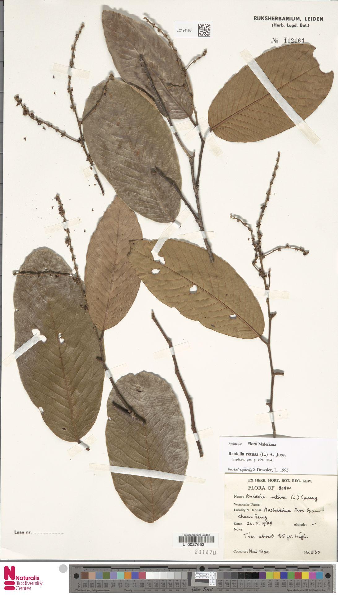 L.2194168 | Bridelia retusa (L.) A.Juss.