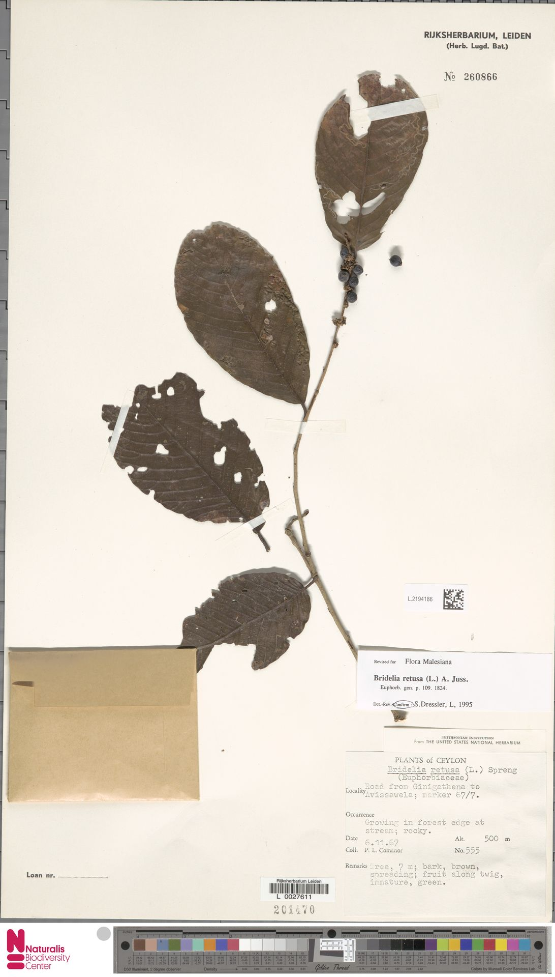 L.2194186 | Bridelia retusa (L.) A.Juss.