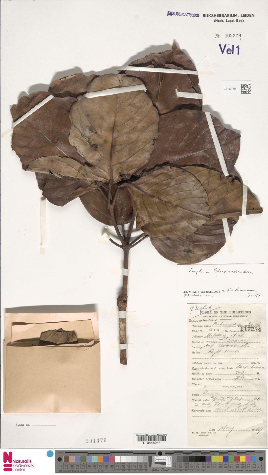 L.2197770 | Blumeodendron kurzii (Hook.f.) J.J.Sm.