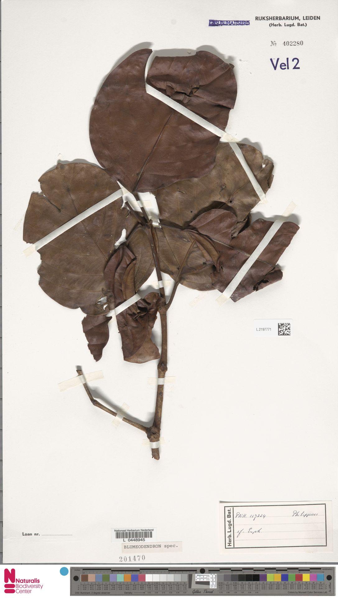 L.2197771 | Blumeodendron kurzii (Hook.f.) J.J.Sm.