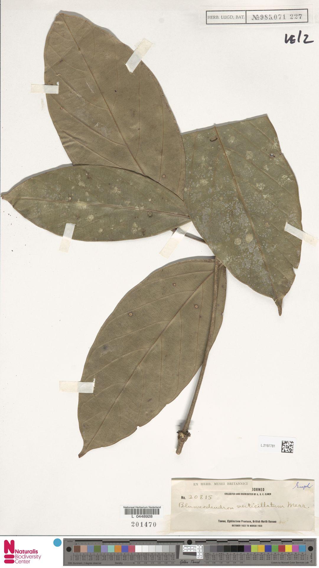 L.2197781 | Blumeodendron kurzii (Hook.f.) J.J.Sm.
