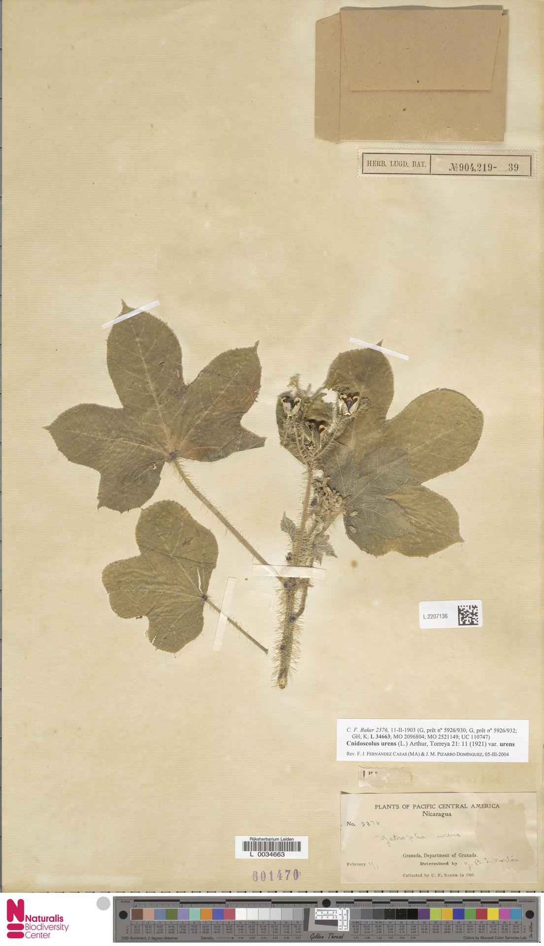 L.2207136 | Cnidoscolus urens var. urens