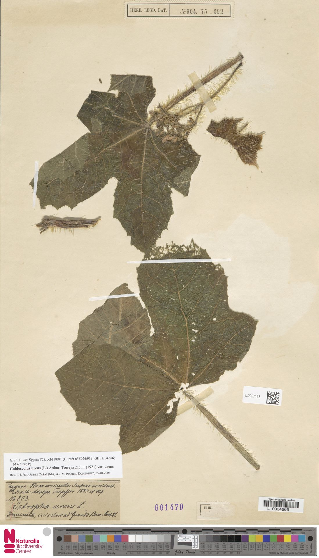 L.2207138 | Cnidoscolus urens var. urens