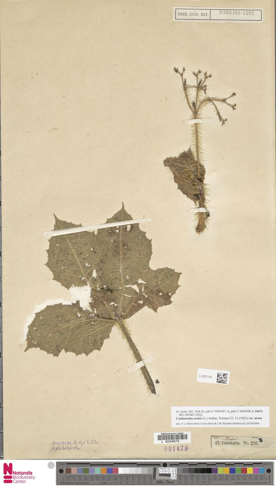L.2207140 | Cnidoscolus urens var. urens