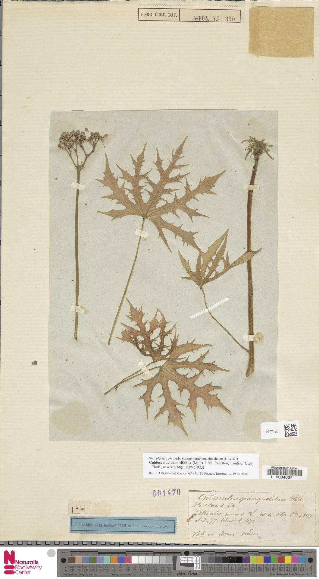 L.2207180 | Cnidoscolus aconitifolius (Mill.) I.M.Johnst.