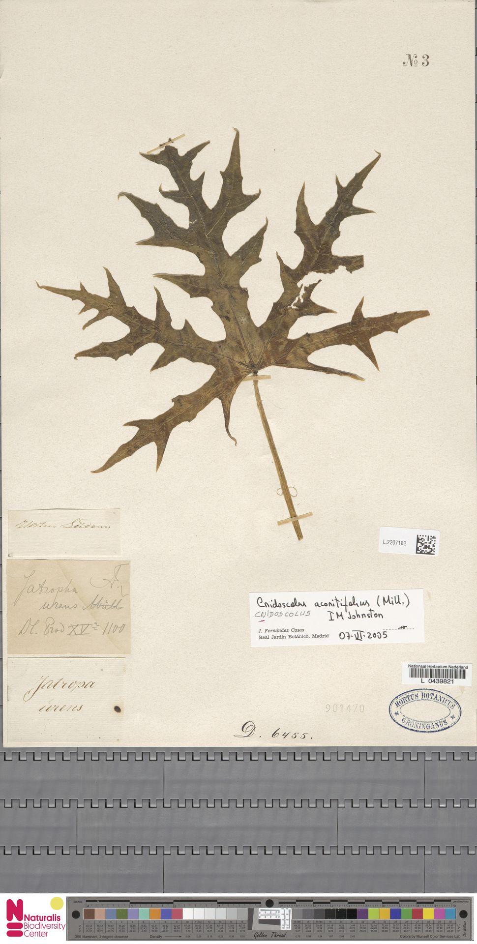 L.2207182 | Cnidoscolus aconitifolius (Mill.) I.M.Johnst.