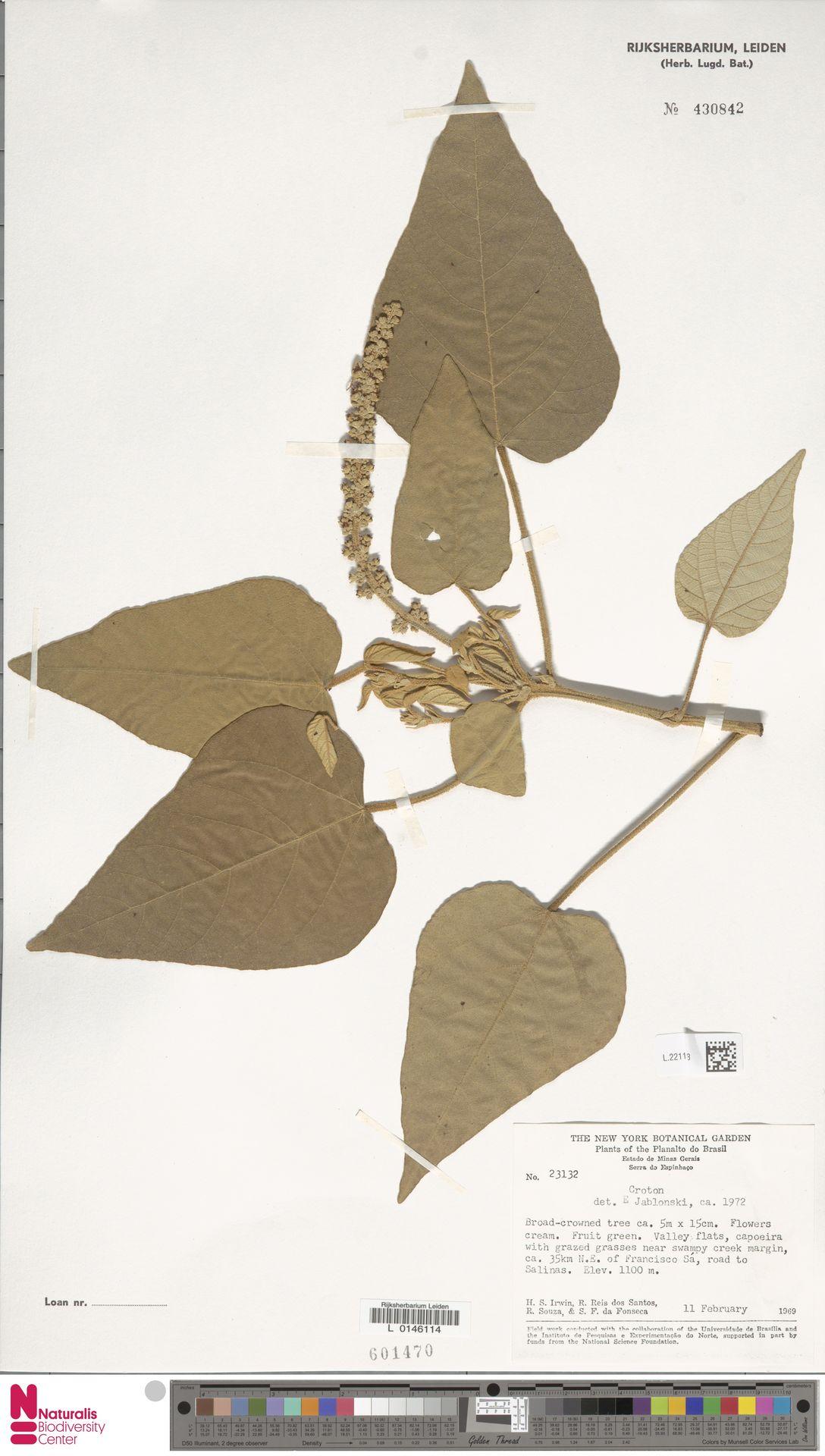 L.2211593 | Croton urucurana Baill.