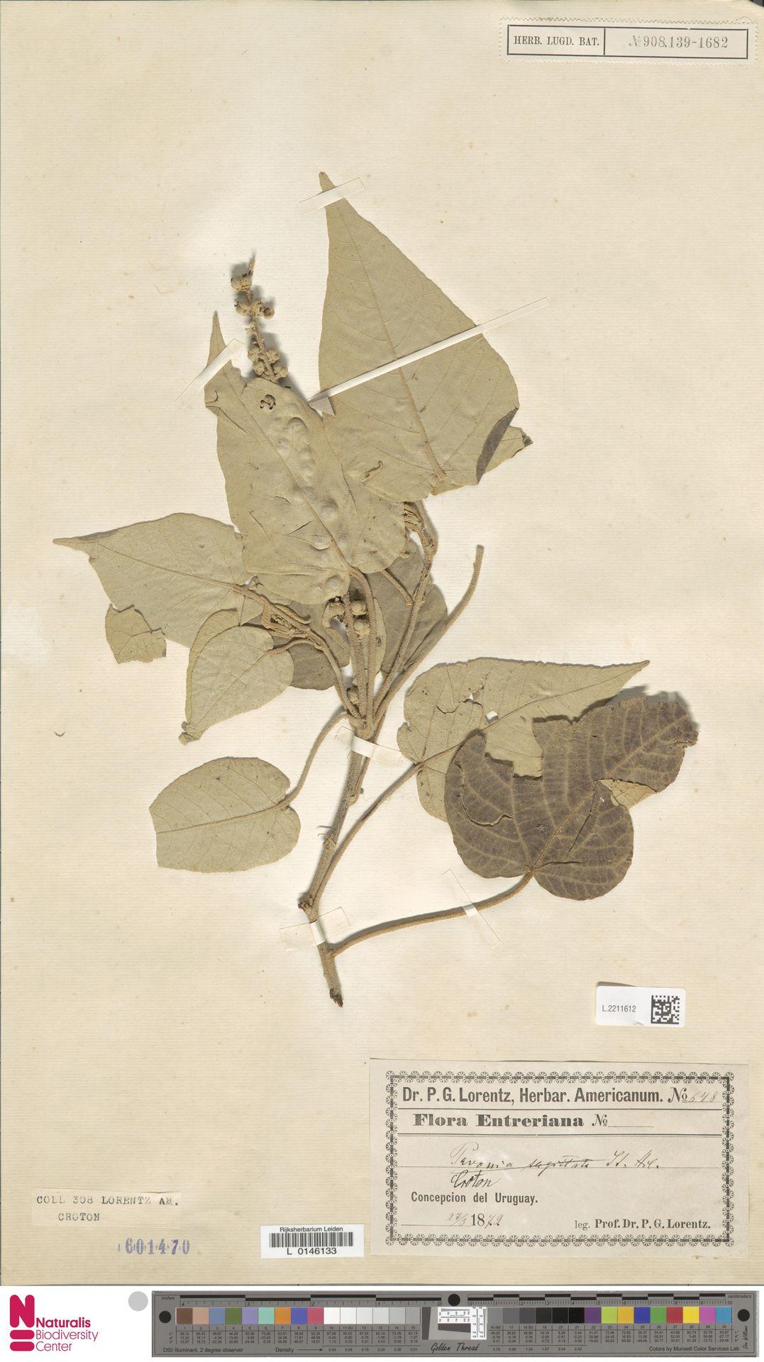 L.2211612 | Croton urucurana Baill.