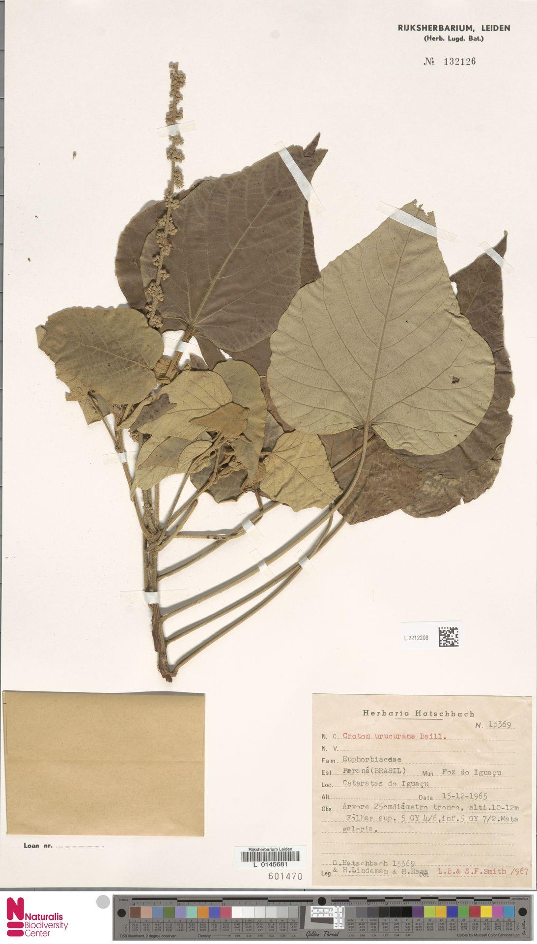 L.2212208 | Croton urucurana Baill.