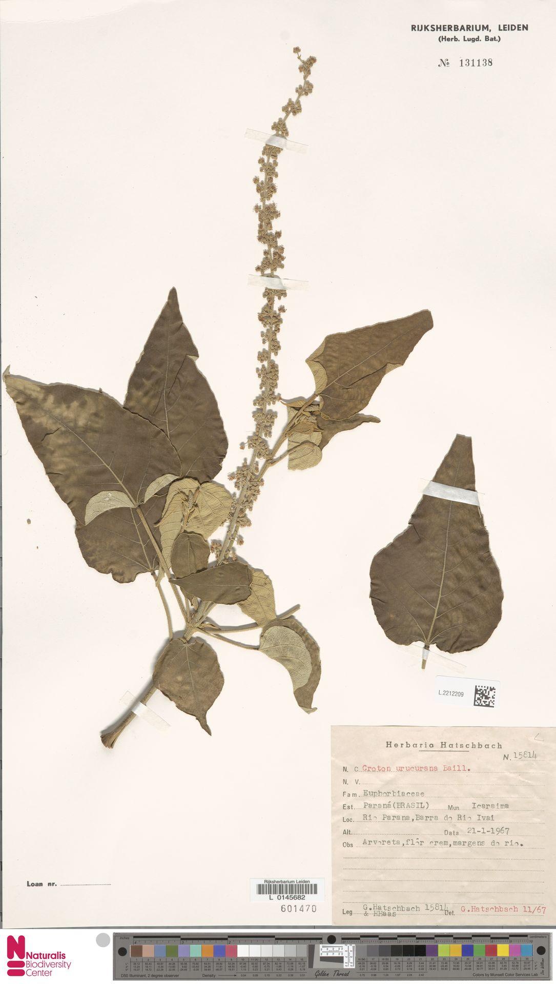 L.2212209 | Croton urucurana Baill.