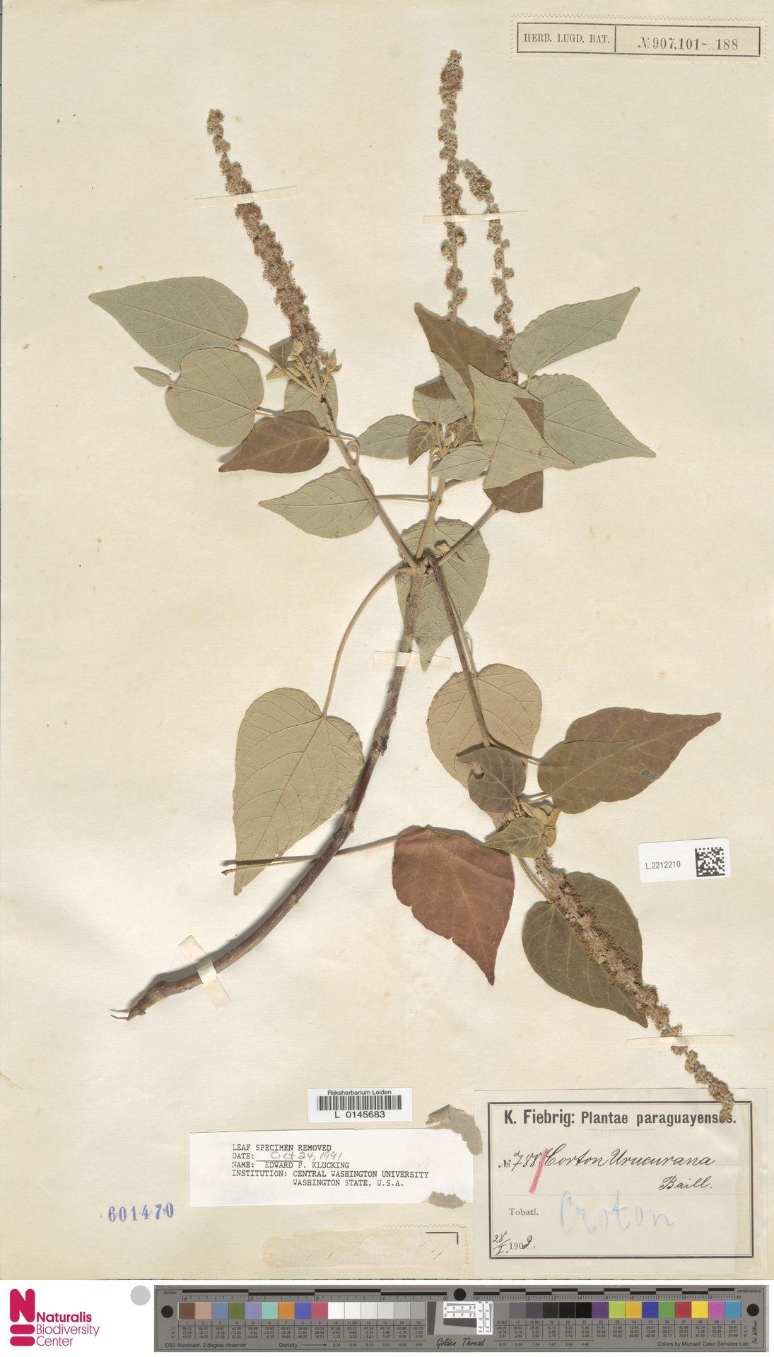 L.2212210 | Croton urucurana Baill.