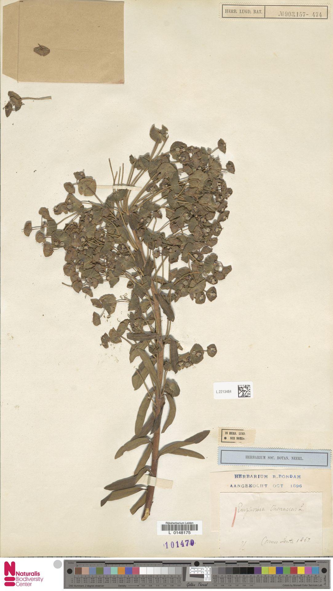 L.2213484 | Euphorbia characias L.