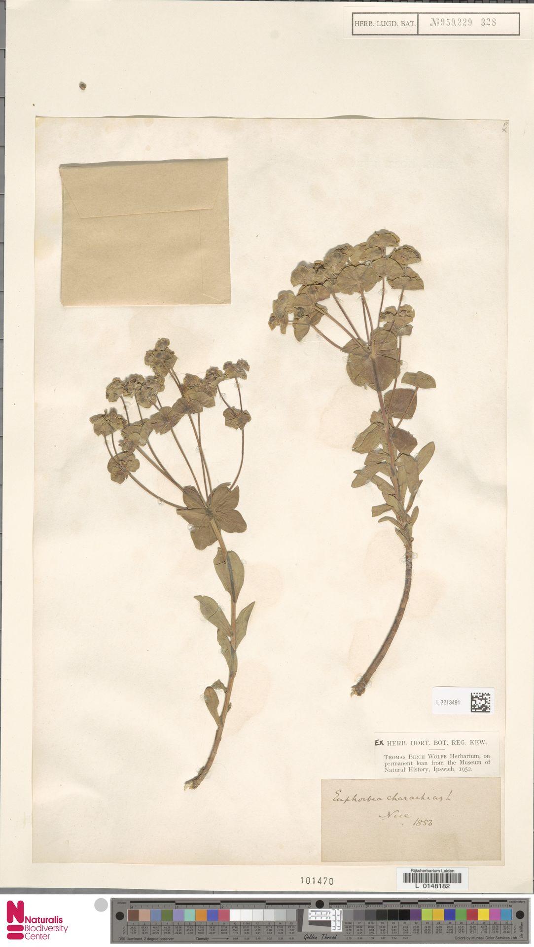 L.2213491 | Euphorbia characias L.