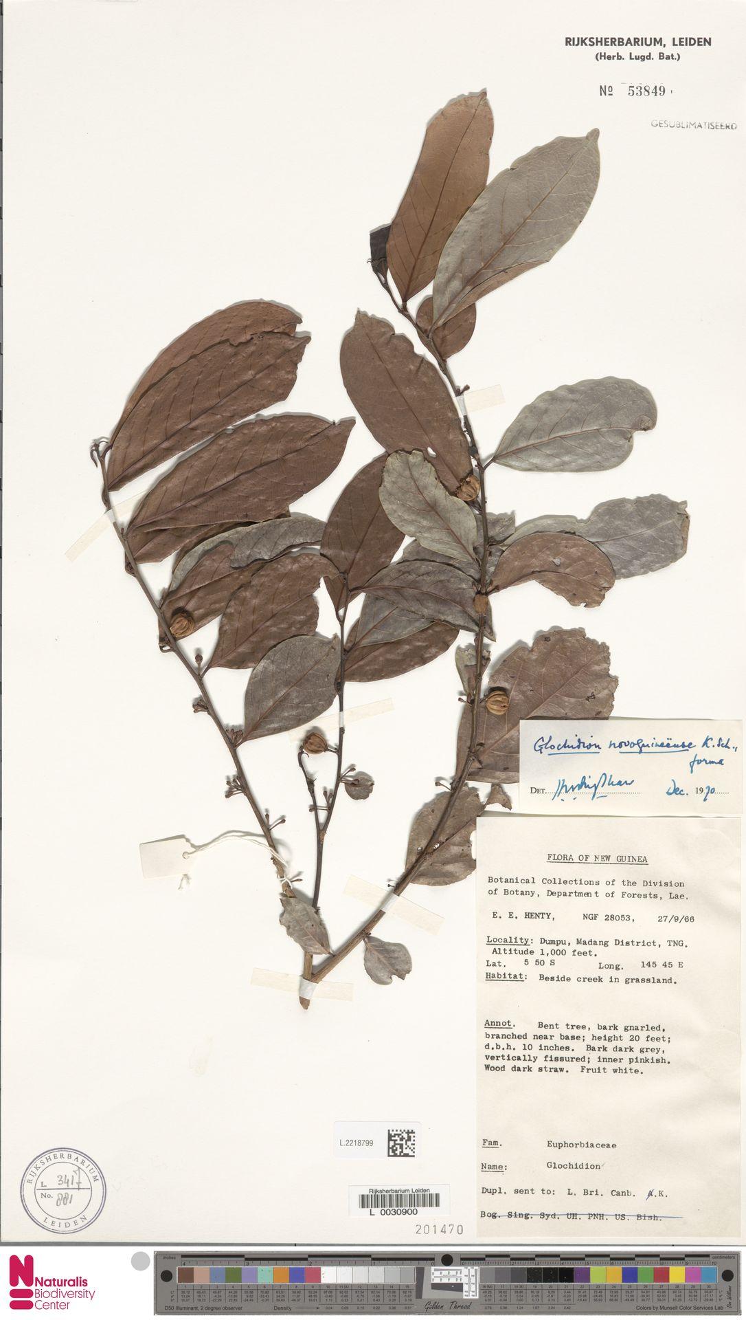 L.2218799   Glochidion novoguineense K.Schum.