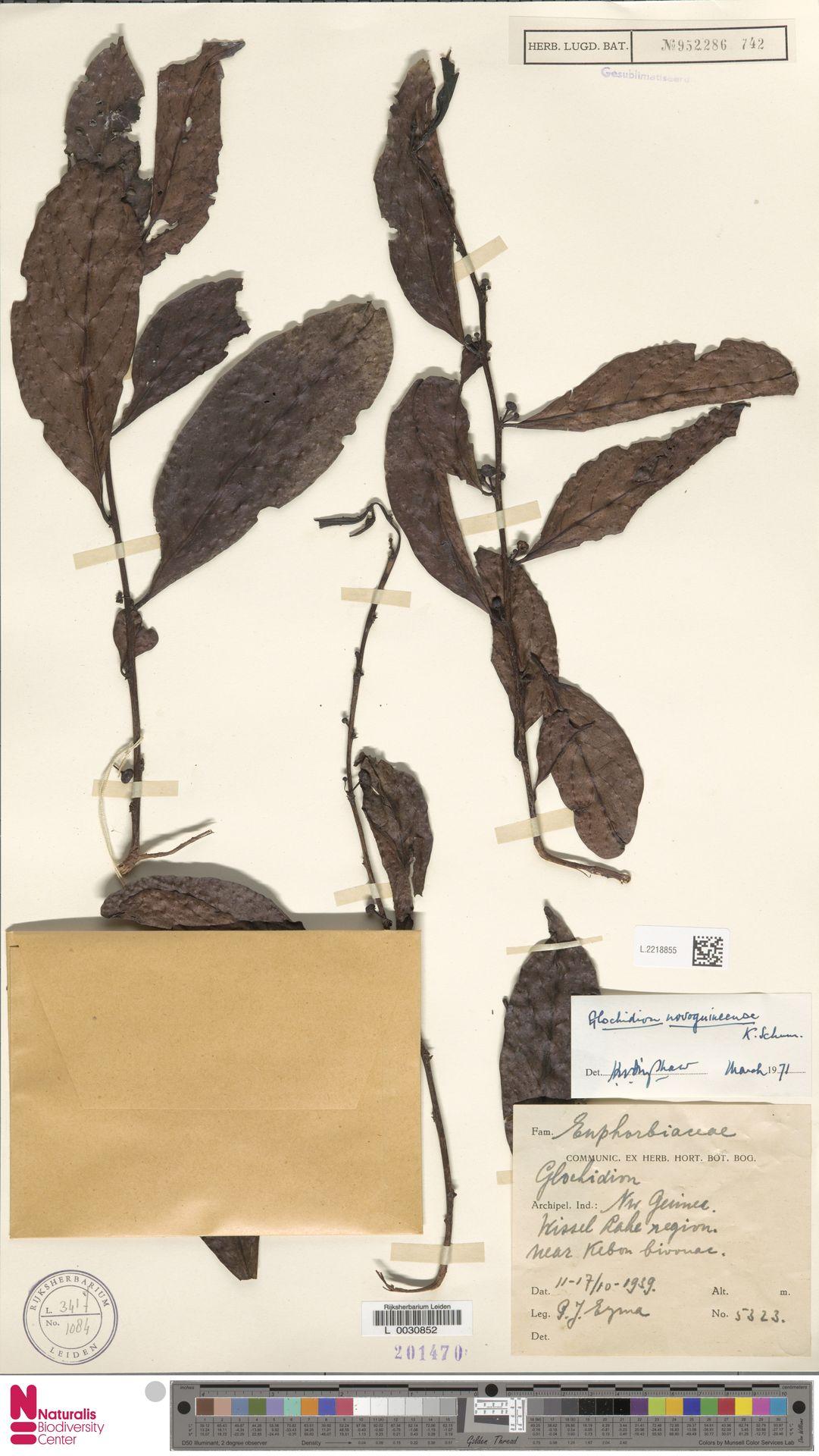 L.2218855 | Glochidion novoguineense K.Schum.