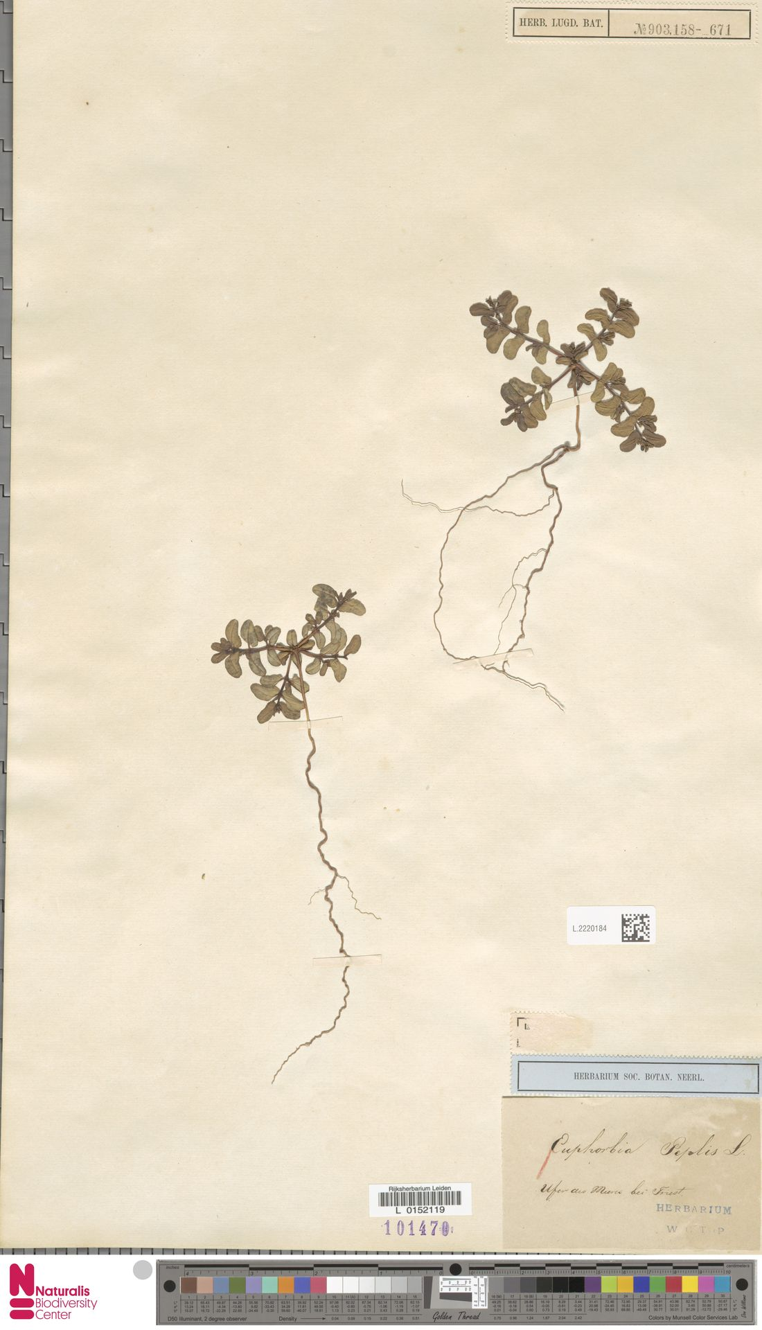 L.2220184   Euphorbia peplis L.