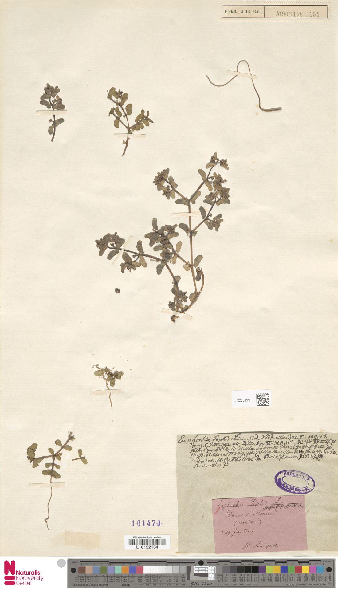 L.2220199 | Euphorbia peplis L.