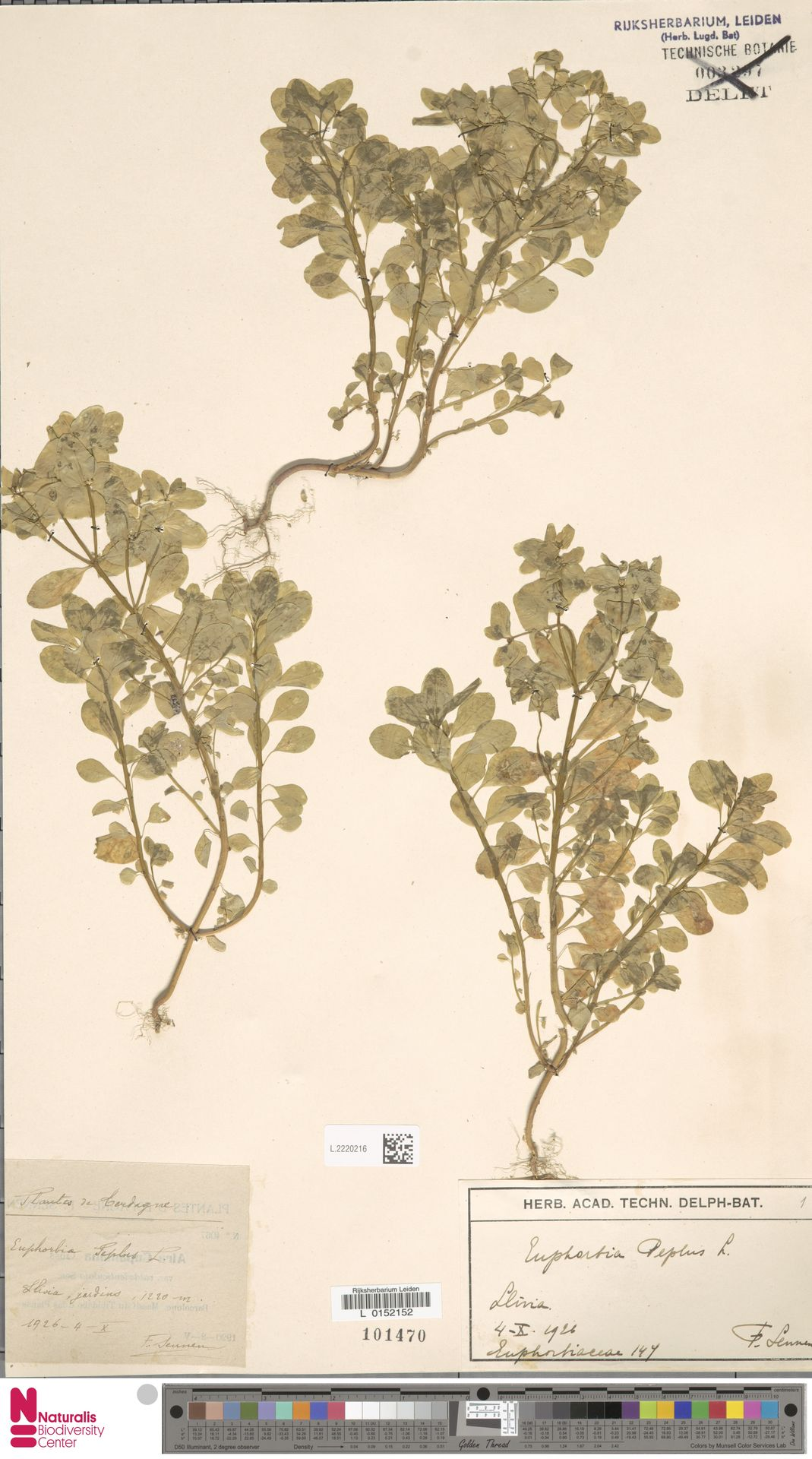 L.2220216   Euphorbia peplis L.