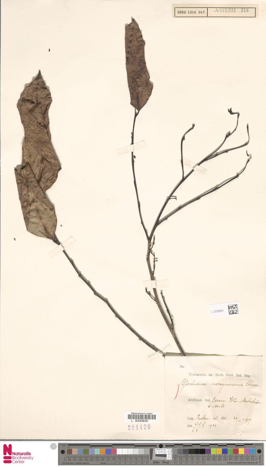 L.2220920 | Glochidion novoguineense K.Schum.