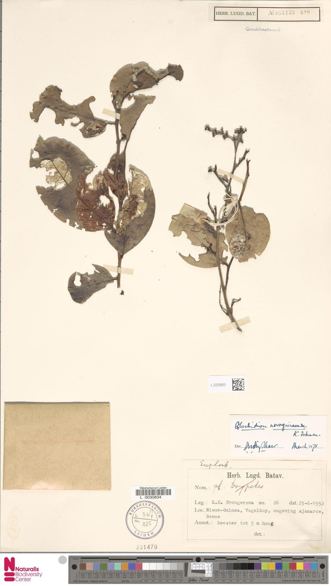 L.2220922 | Glochidion novoguineense K.Schum.