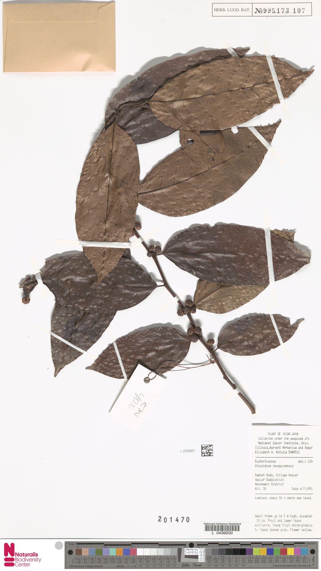L.2220927 | Glochidion novoguineense K.Schum.