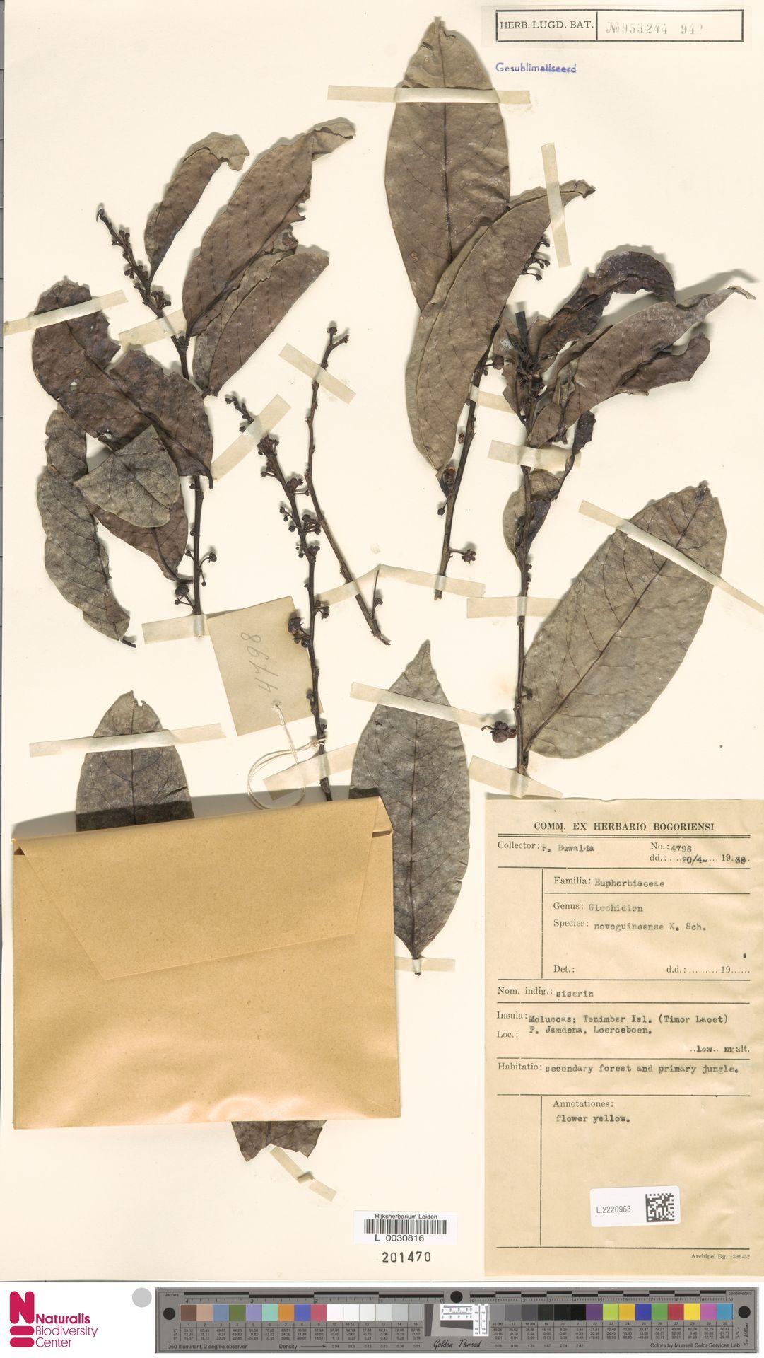 L.2220963 | Glochidion novoguineense K.Schum.