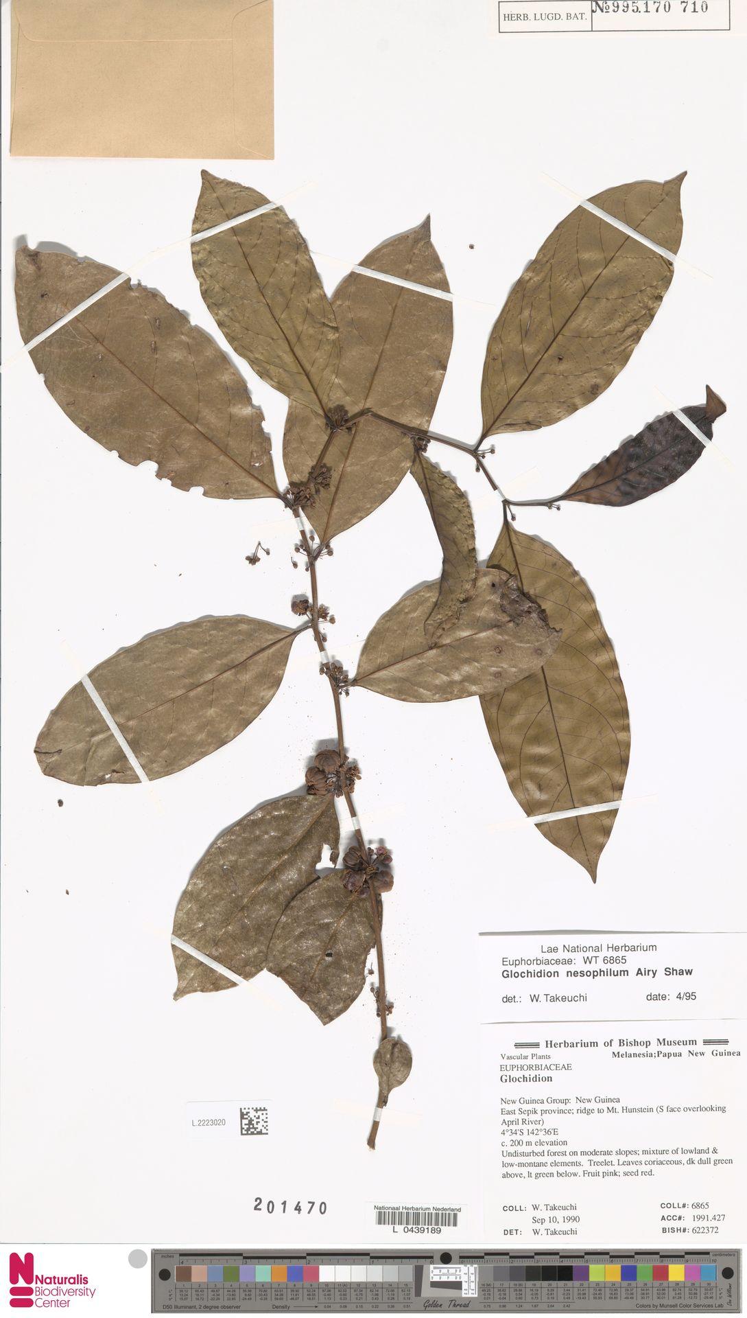 L.2223020 | Glochidion nesophilum Airy Shaw