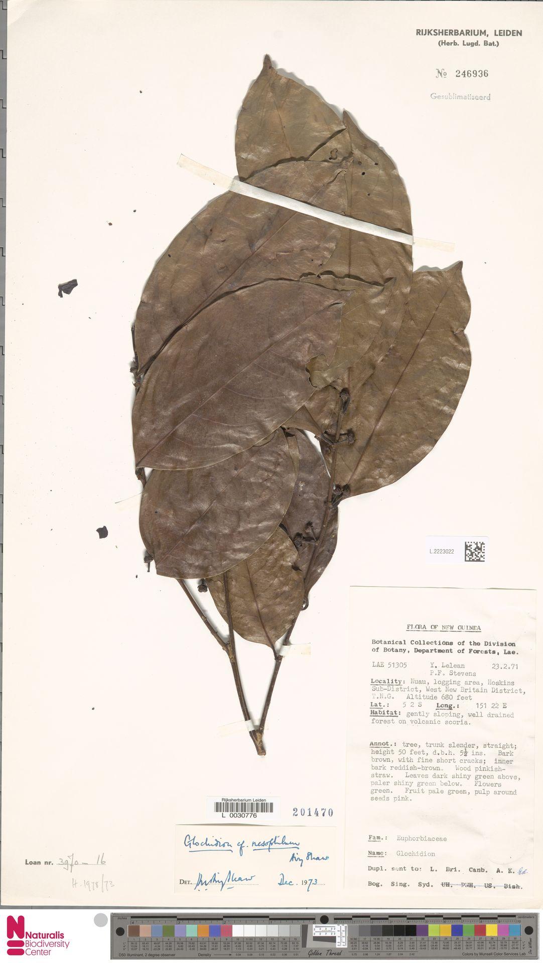 L.2223022 | Glochidion nesophilum Airy Shaw