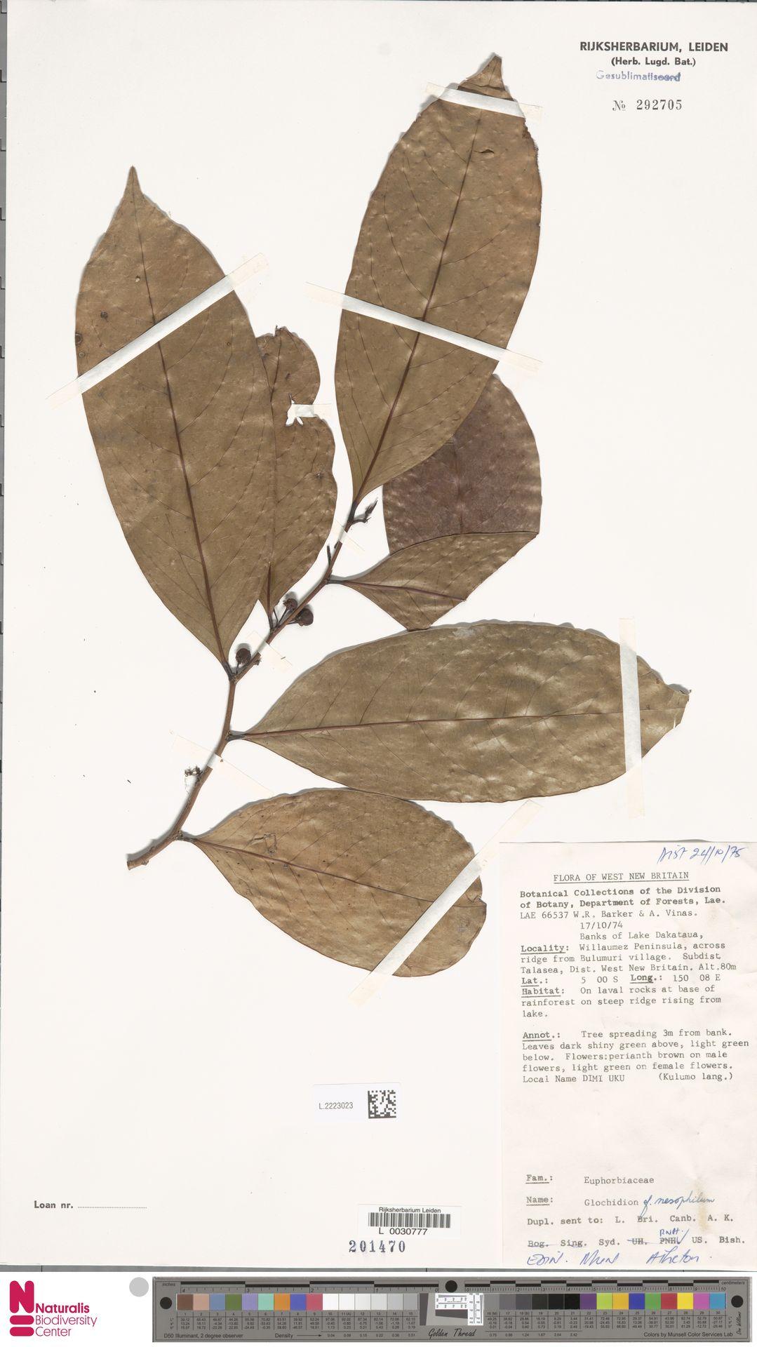 L.2223023 | Glochidion nesophilum Airy Shaw