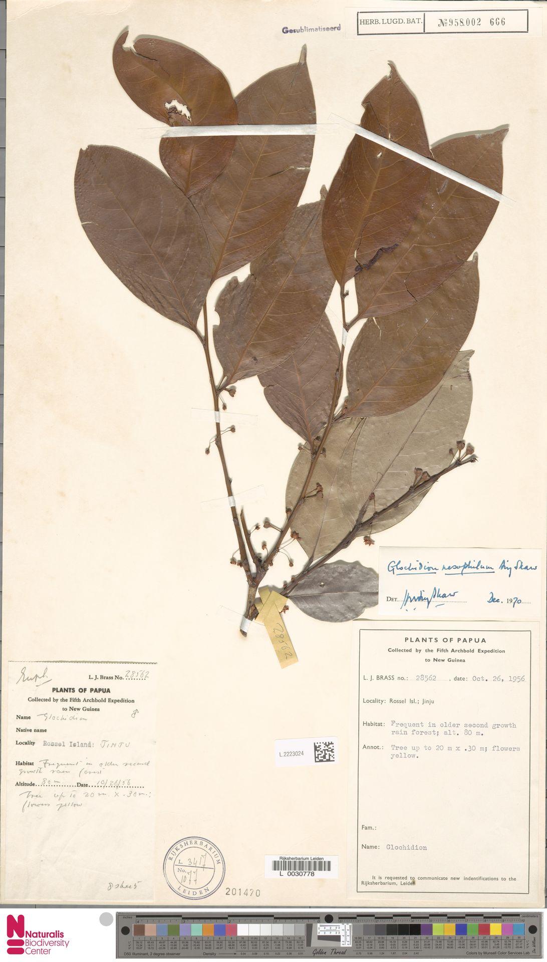 L.2223024 | Glochidion nesophilum Airy Shaw