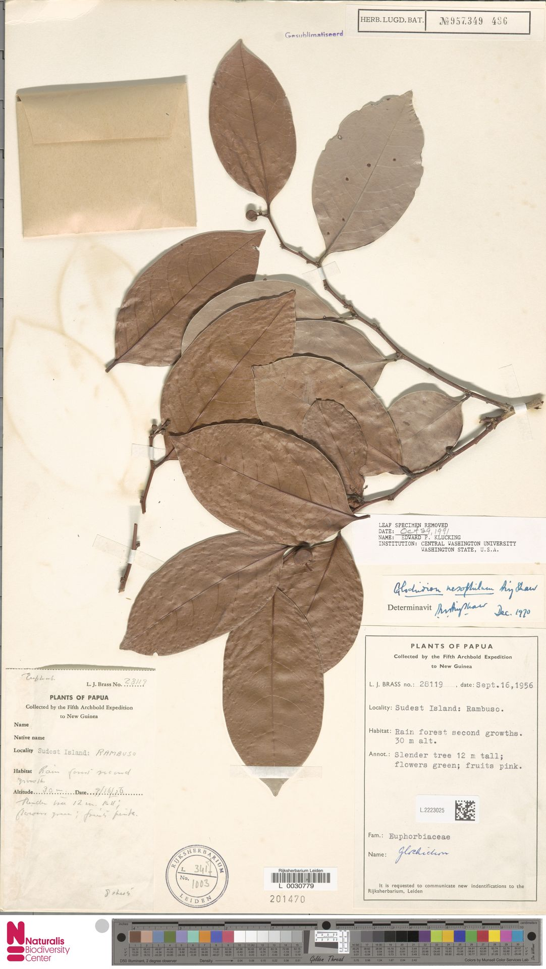 L.2223025 | Glochidion nesophilum Airy Shaw
