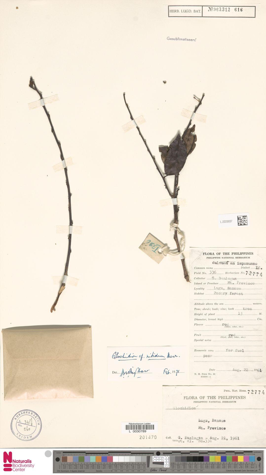 L.2223037 | Glochidion nitidum Merr.