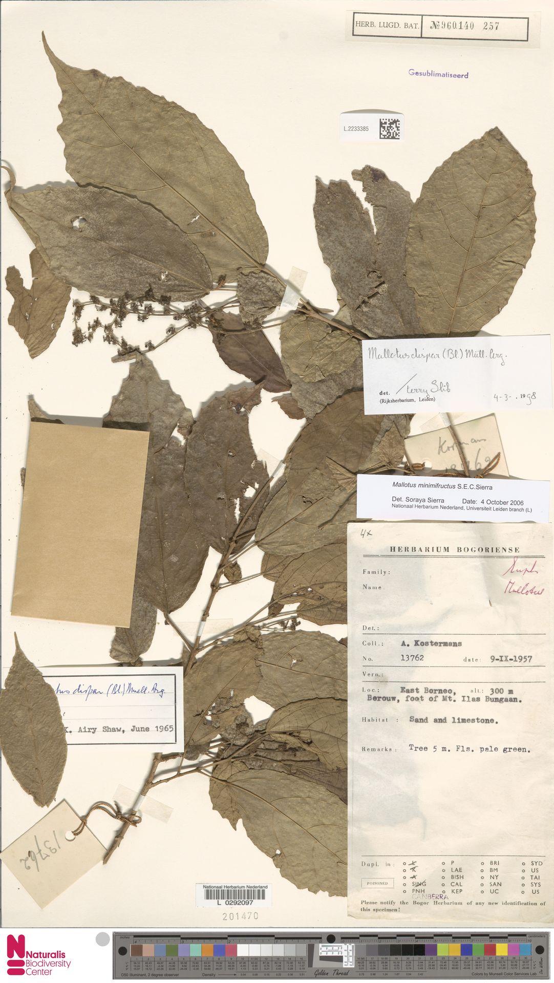 L.2233385 | Mallotus dispar (Blume) Müll.Arg.
