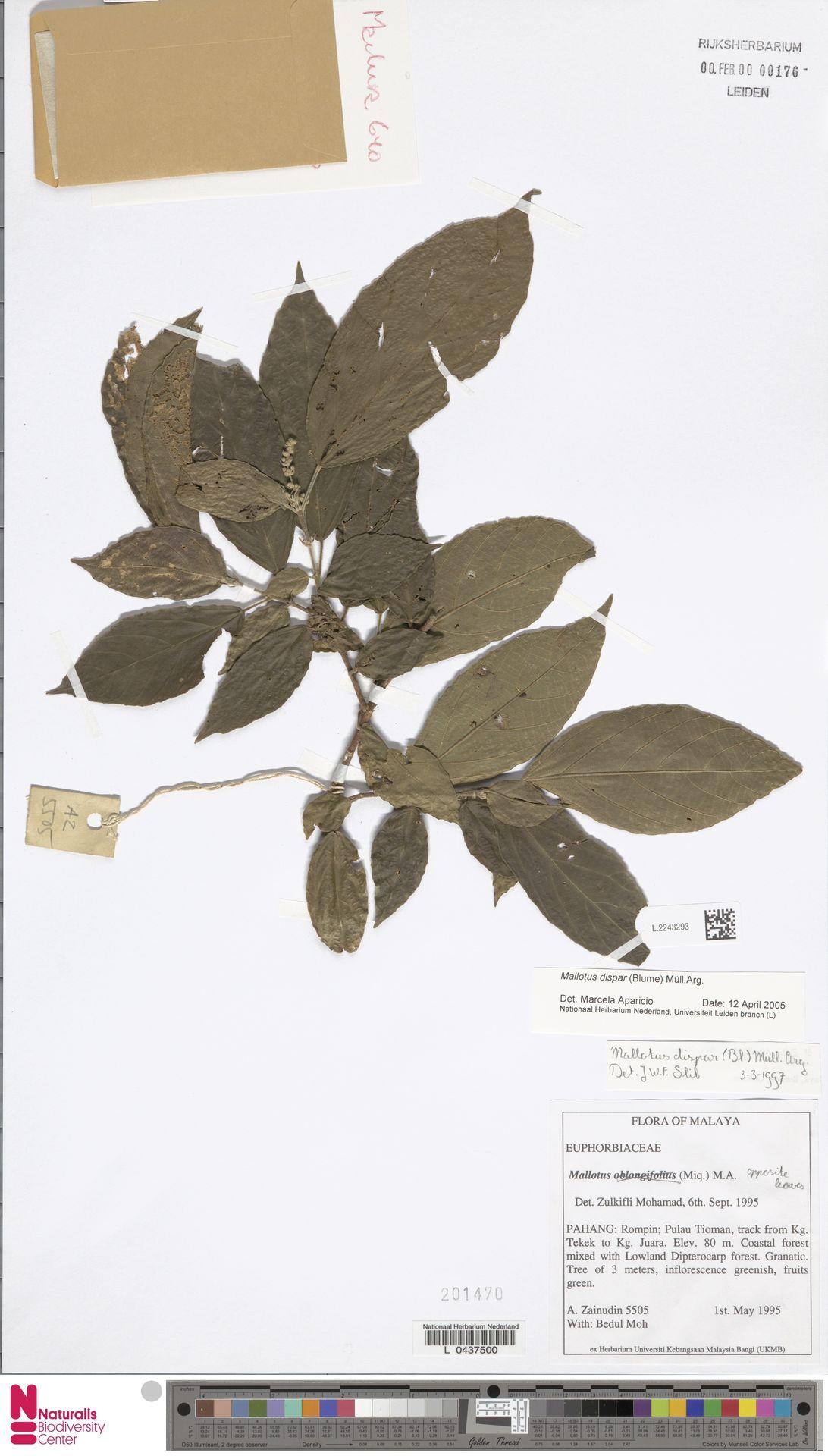 L.2243293 | Mallotus dispar (Blume) Müll.Arg.