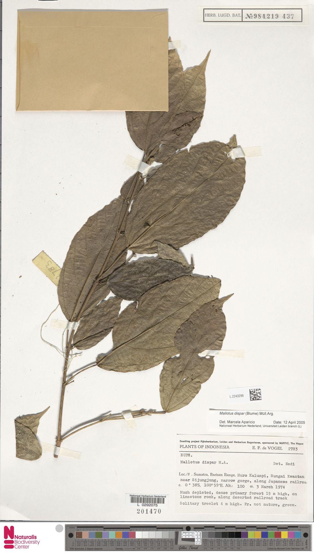 L.2243296 | Mallotus dispar (Blume) Müll.Arg.