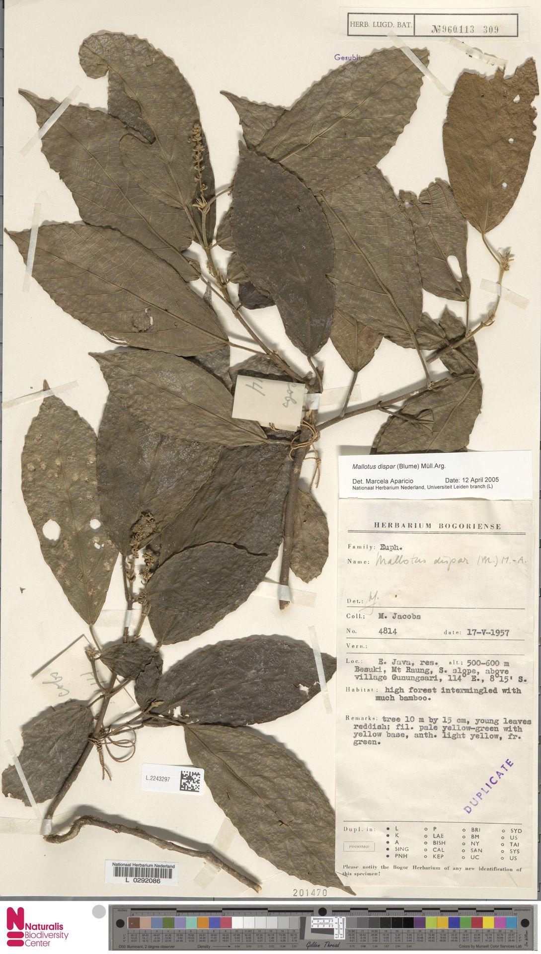 L.2243297 | Mallotus dispar (Blume) Müll.Arg.