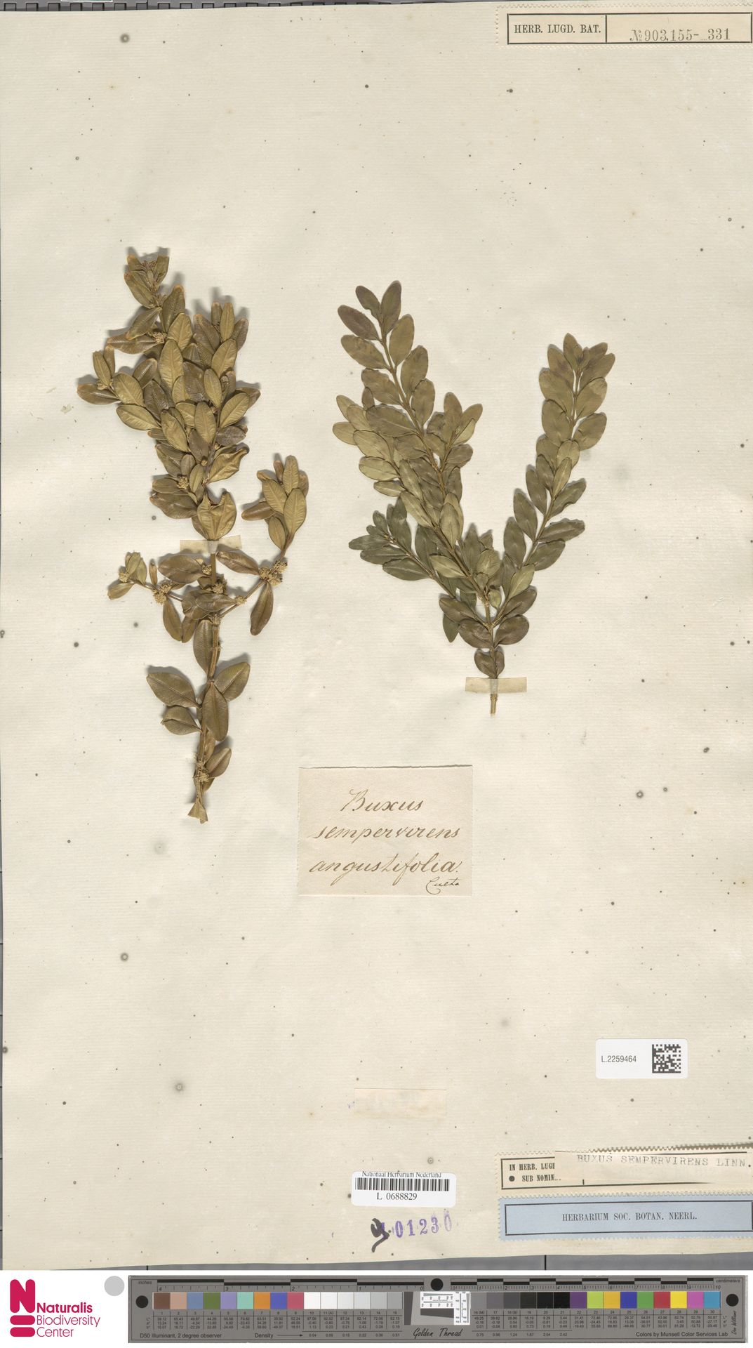 L.2259464   Buxus sempervirens L.