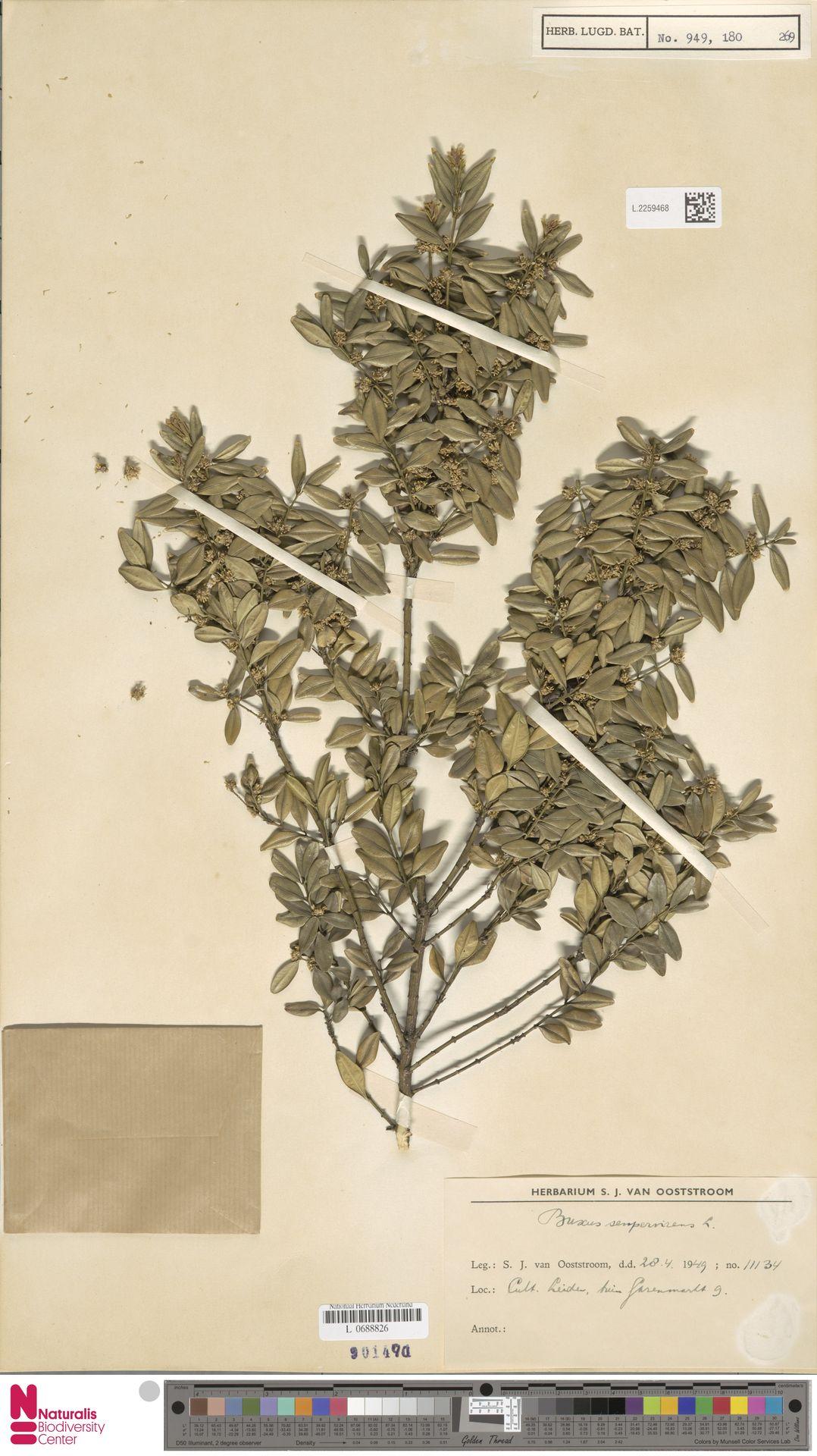 L.2259468 | Buxus sempervirens L.