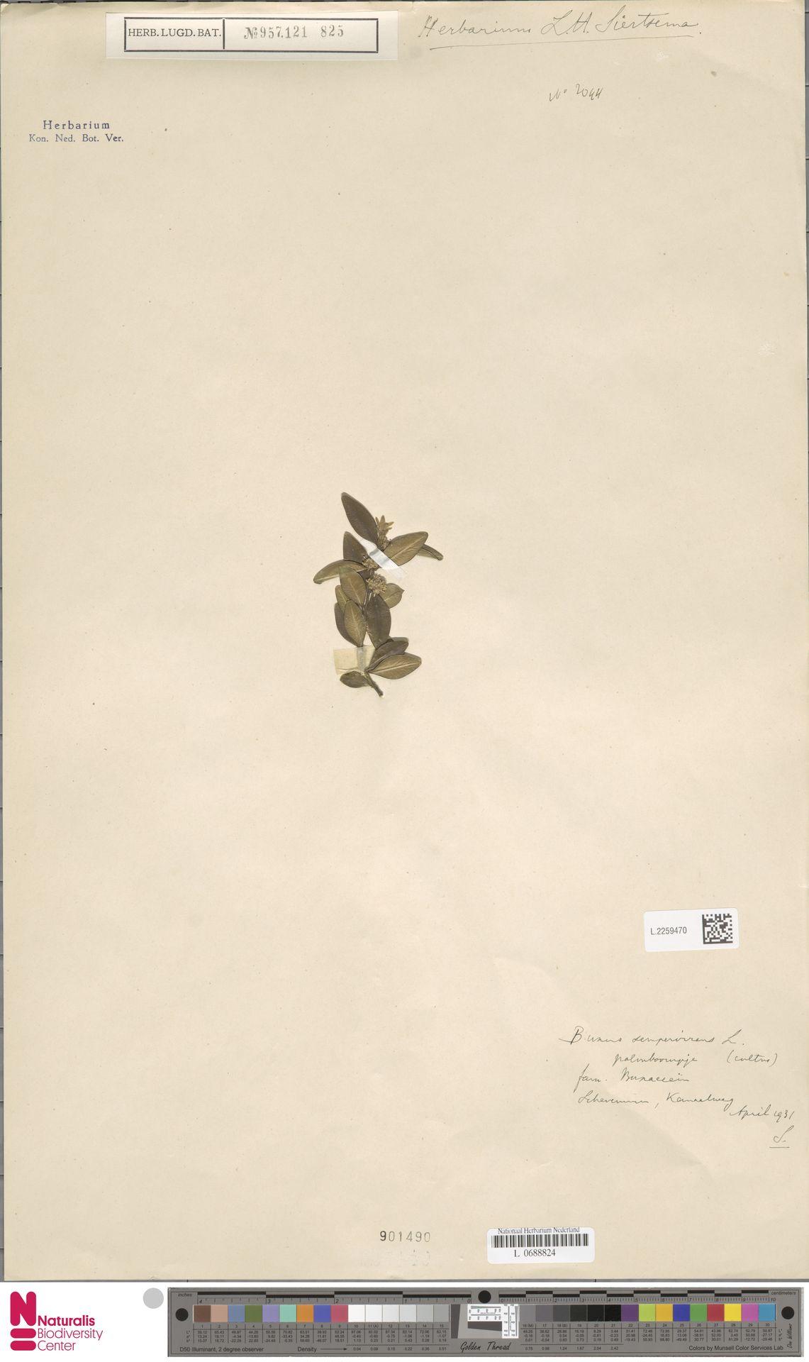 L.2259470 | Buxus sempervirens L.