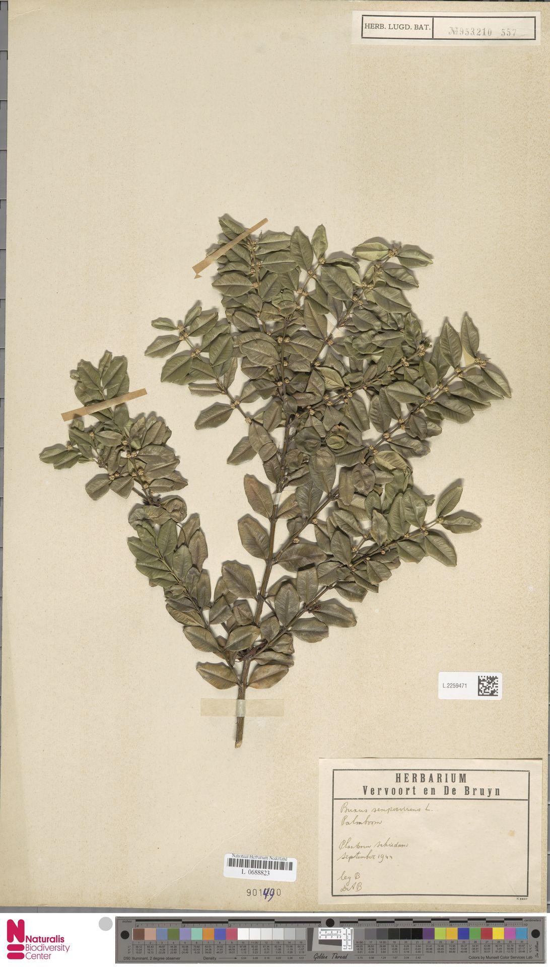 L.2259471 | Buxus sempervirens L.